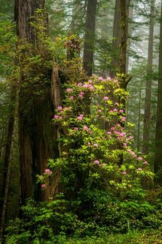 wild rhodie in a redwood forest All Nature, Science And Nature, Amazing Nature, Nature Pictures, Cool Pictures, Flower Power, Beautiful World, Beautiful Places, Beautiful Scenery