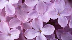 Lilac Tapet Lilacs Purple Flower Skin Texture Pink Spring Wallpaper Screensavers