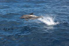 Dolphin Azores // Azoren / Portugal