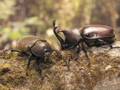Kabutomusi - rhinoceros beetle (couple) : Most Japanese boys like this beetle very much.
