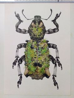 Art of Carim Nahaboo Very pleased to have been asked to create this illustration for a retiring entomologist at the Natural History Museum. Lithinus rufopenicillatus - a species of weevil which uses living epizoic mosses and liverworts as camouflage, growing a tiny garden on its back!  Pigment liner and coloured pencil, A4 size. Limited edition prints will be available soon.