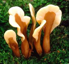 Excellent paddle-shaped fungus