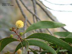 Koa Leaves