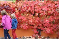 Autumn colour at Harlow Carr by Paperbark Garden Design Vitis Coignetiae 1