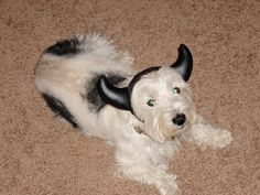 my westie Tiger - the one and only time I dressed him up for Halloween - he hated it at first but then figured out that if his kept his horns on when we answered the door he would get a treat!