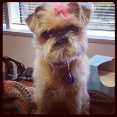 This is Rory's best #Elvis impersonation. Note the lips. #brusselsgriffon - @stacyz713- #webstagram