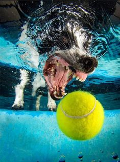 PsBattle: This dog getting a ball underwater. Funny Cute Cats, Cute Funny Animals, Funny Dogs, Underwater Dogs, Underwater Painting, Funny Cat Compilation, Funny Animal Videos, Awsome Pictures, Dog Pictures