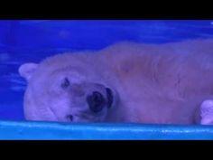 我原本以為這隻北極熊躺在地上是在休息,但看到他的嘴巴「一開一闔」才發現他正在絕望求救!