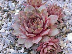 Sempervivum 'Rose Queen'
