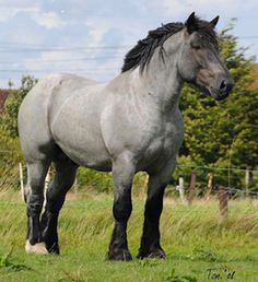 beautiful draft horse