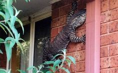 Australian man finds massive lizard climbing his house.