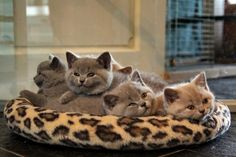 British Shorthair Kittens | Cattery Morgaine's | www.morgaines.net | The Netherlands