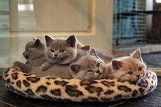 British Shorthair Kittens | Cattery Morgaine's | www.morgaines.net | The Netherlands