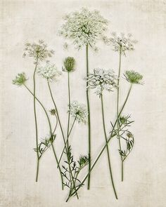 Botanical Print Queen Annes Lace Minimal by ShadetreePhotography, $30.00