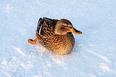 Mallard on ice Male Photography, Digital Photography, Mallard, Namaste, Ice, Animals, Nature, Men Photography, Animales