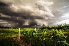Vineyard Photography, Wine Country, Weather Print, Vineyard Print, Grapevine Photo, Grapes, Vine Photography, Fence Picture, Nebraska Print