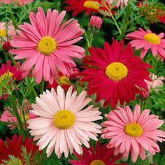 This mixture of large, vibrant daisies will range from white, to pink, to red. The stunning blooms are perfect for cutting and will provide a cheery show in late spring to summer. (Pyrethrum or Tanacetum)