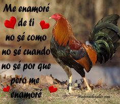 Fotos De Gallos Con Frases De Amor Love Phrases, Puerto Ricans, My People, Rooster, Iphone, Funny Good Morning Wishes, Love Quotes, Rooster Painting, Cantinflas