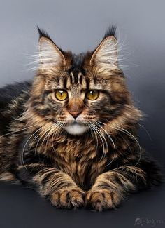 maine coon I want a cat like this!!!! they are absolutely massive and a beautiful breed