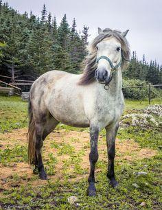 Jigger, one of the estimated 200-250 Newfoundland Ponies remaining, Change Islands, Newfoundland, Canada