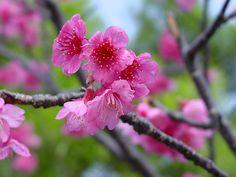 Sakura (Cherry Blossom) oki style