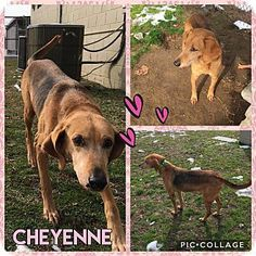 Cheyenne - URGENT - Colonial Heights Animal Shelter, Virginia - ADOPT OR FOSTER - 6 year old Female Hound Mix - She is super, super sweet! She is indifferent to other dogs and cats so if she goes into a home with friendly animals she should be fine. Her biggest dream is to have a comfy bed to lay on and humans to endlessly love on.