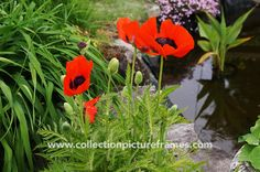 Red poppies by the pond by Collection Picture Frames on @creativemarket