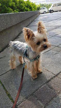 Dog Secrets: The Fastest Way To Your Dream Yorkshire Terrier! – Yorkshire Terrie… Dog Secrets: The Fastest Way To Your Dream Yorkshire Terrier! Yorkshire Terrier Teacup, Perros Yorkshire Terrier, Yorkshire Terrier Haircut, Yorkies, Yorkie Puppy, Teacup Yorkie, Biewer Yorkie, Havanese Dogs, Rottweiler Puppies