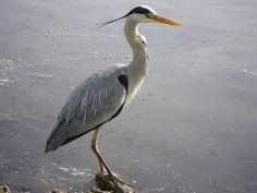 Grey Heron - Scotland, 2013