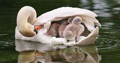 Espectaculares imágenes sobre el instinto maternal de las aves