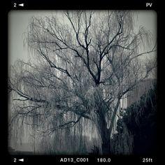 Ice storm willow