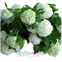Viburnum Snowball White Flower   FiftyFlowers.com; Jan - April; 80 stems for $199.99