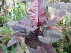 Philodendron 'Black Cardinal' would grow upright rather than trailing with the others, but its dark foliage makes quite a statement! Bright, indirect light, evenly moist (but not constantly wet). Foliage, Philodendron, Plants, Tropical Garden, Indoor Plant Wall, Anthurium, Green, Caladium, Garden