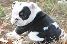 English Bulldog Pictures Bulldog Puppies English Bulldog