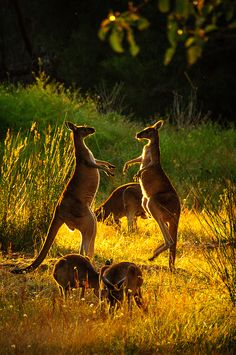 Kangaroos at dawn