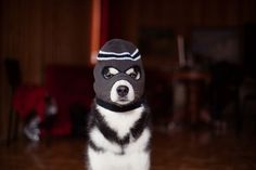 My Huskies Have Mastered The Art Of Dressing Up | Bored Panda