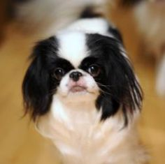 Fairy Dancer (MN) is an adoptable Japanese Chin Dog in Cottage Grove, MN. Name: Fairy Dancer DOB: 3/8/2008 Adoption Donation: $275.00  Current foster location: Minnesota Date Posted: 8/20/2012 As a Vo...