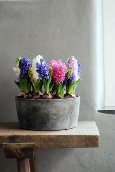 Hyacinth in metal tub Bulb Flowers, Beautiful Flowers, Hyacinth Flowers, Bouquet Flowers, Beautiful Beautiful, Flowers Nature, Spring Bulbs, Deco Floral, Daffodils