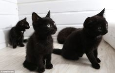 Not wanted: These black kittens are among nine left at the Millwood Cattery in Nottingham in the last fortnight They look so sweet.