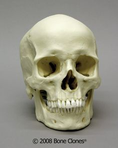 This is a good example of a European skull and perfect for use with our Asian and African skulls for comparative study.