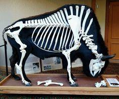 The Green Wolf — American bison articulation and cutaway taxidermy. Animal Anatomy, Anatomy Art, Anatomy Drawing, Animal Skeletons, Animal Skulls, Skull Reference, Skeleton Anatomy, Historia Natural, American Bison