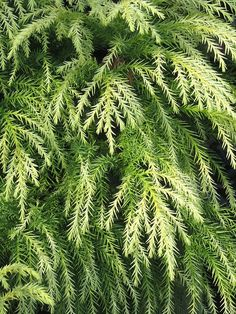 Japanese Red Cedar - Cryptomeria japonica Sekkan Sugi « Chew Valley Trees