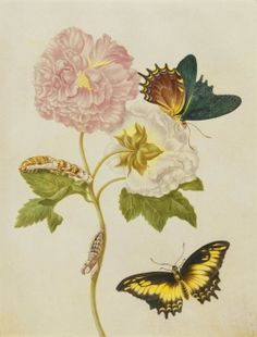 Confederate Rose with Androgeus Swallowtail Butterfly