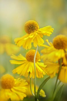Helenium Butter Pat Yellow Blooms
