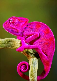 I love these guys. When I was a kid I lived in Spain. We could go get one out of the bushes any day. They were our pets. They DO NOT turn this color, however. That is somebody's photoshop idea. They are between bright green and brown. That's it.
