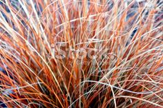 Close-Up of Tussock Grass Royalty Free Stock Photo Abstract Photos, Native Plants, Image Now, Simply Beautiful, New Zealand, Close Up, Grass, Flora, Royalty Free Stock Photos