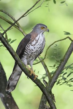 Crested Goshawk (Accipiter trivirgatus) is a bird of prey from tropical Asia.