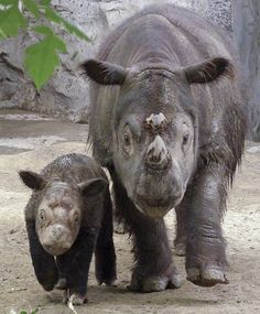 HELP SAVE the Sumatran Rhino From Extinction! 45,487 signatures - HELP REACH 46,000 by Signing and Sharing Widely! Thank you!