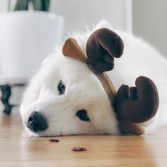"305 Likes, 4 Comments - Samoyed Cairo | Life of Cairo (@life.of.cairo) on Instagram: ""Can I have my smackos now? #reindeerpup #goodestboy #bestboy #lifeofcairo @puppystagrams . . . . .…"""