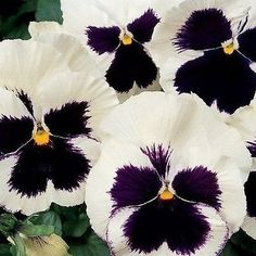 Pansy Swiss Giant Silverbride Flower Seeds (Viola Wittrockiana) 50+Seeds - Under The Sun Seeds